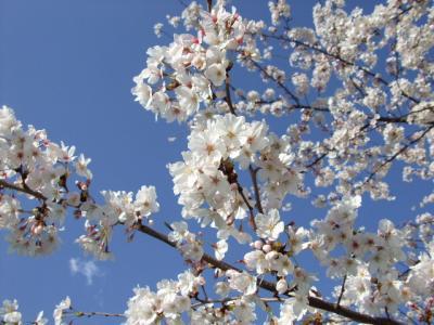 2008.桜と純米大吟醸 (1)