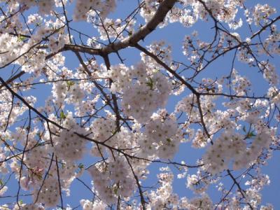 2008.桜と純米大吟醸 (2)