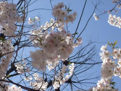 2008.桜と純米大吟醸 (3)