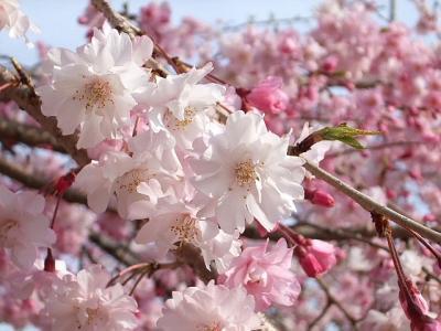 2008年 遠州の春 ・ 予告編 (4)