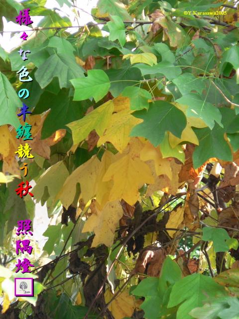 ゆりのき(8.17)