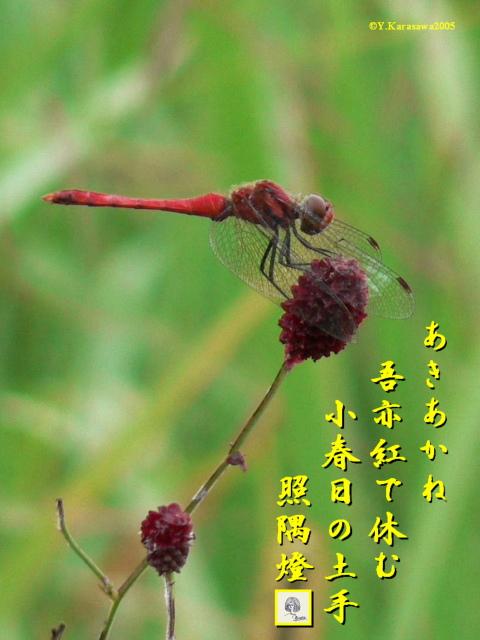吾亦紅に秋茜(11.19)