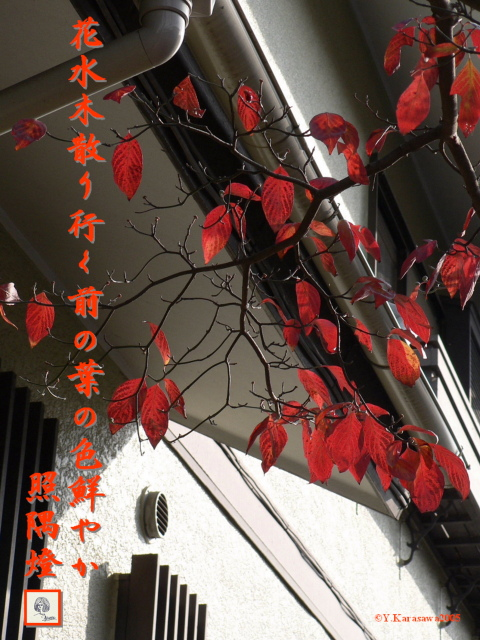 花水木(4.23)の紅葉