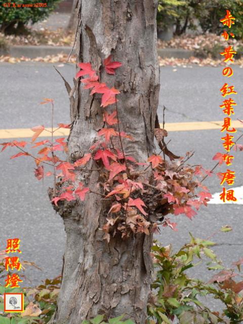 唐楓の紅葉