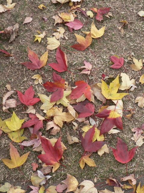 唐楓の落葉