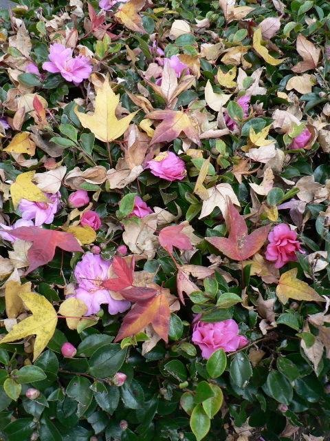 唐楓の落葉が寒椿の上に