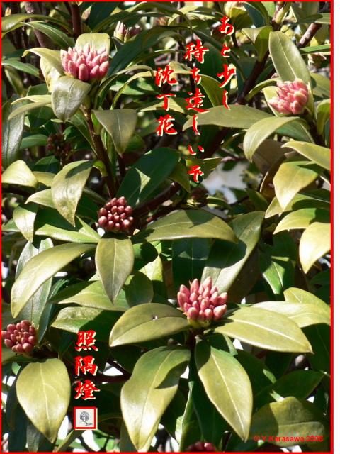 0210沈丁花