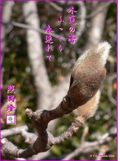 0211木蓮の蕾