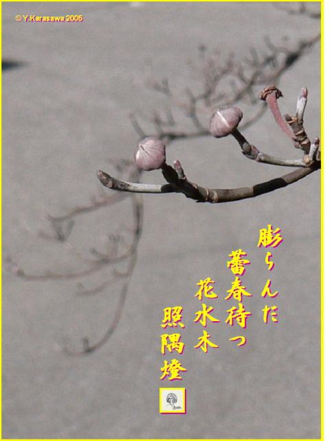 0215花水木の蕾