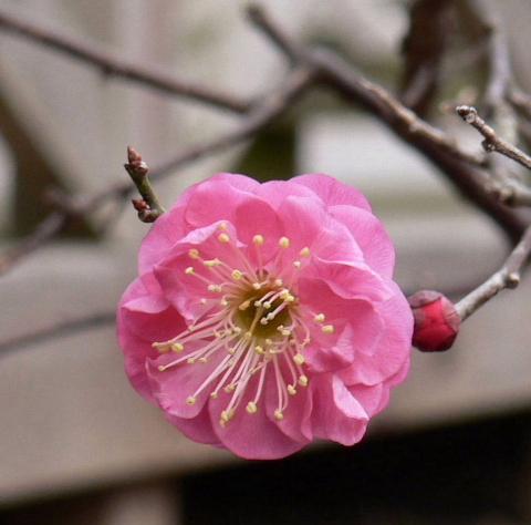 0217紅梅開花