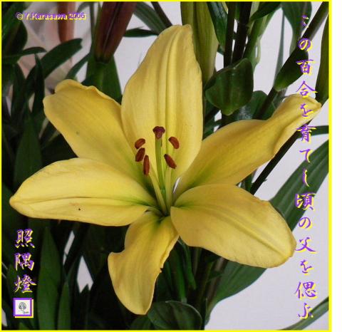 0221百合黄色