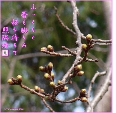 0313桜のつぼみ
