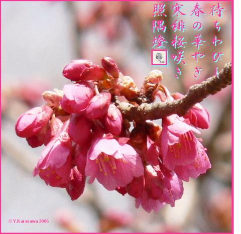 0319寒緋桜