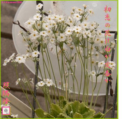 0326桜草(白)