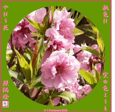 0412桃の花