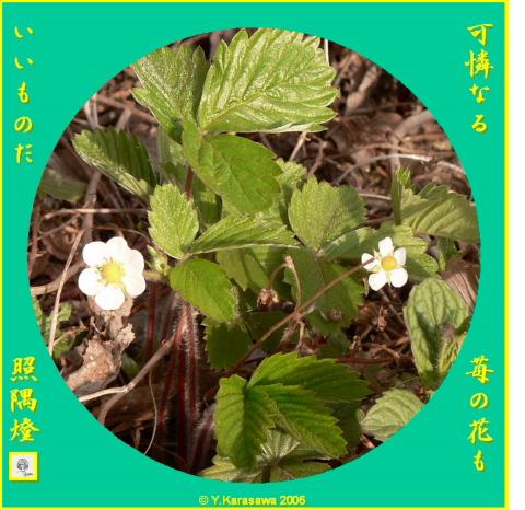 0413苺の花