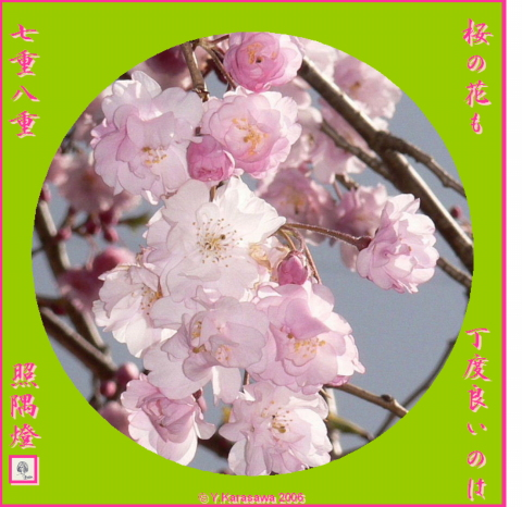 0420八重桜0411