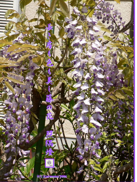 0430藤の花