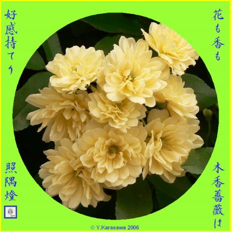 0518木香バラ