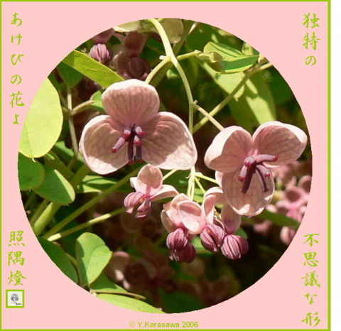 0522あけびの花