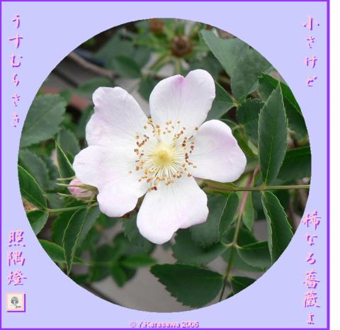0601薔薇(薄紫)