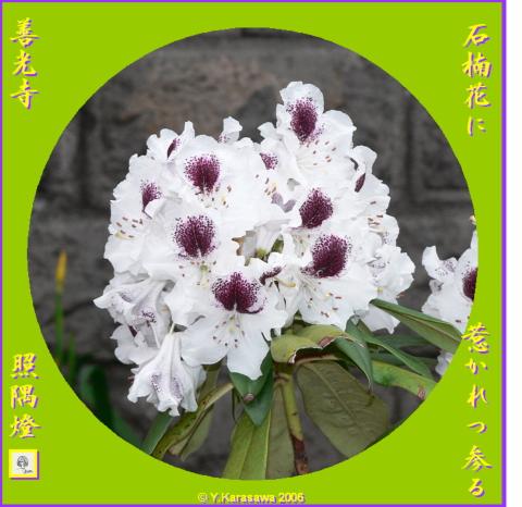 0603石楠花
