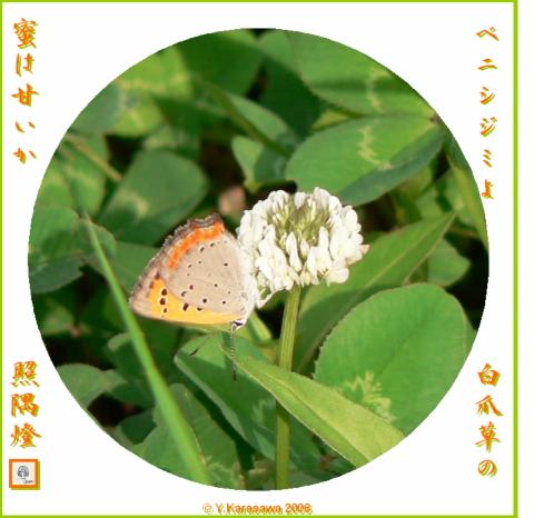 0617白爪草に紅シジミ