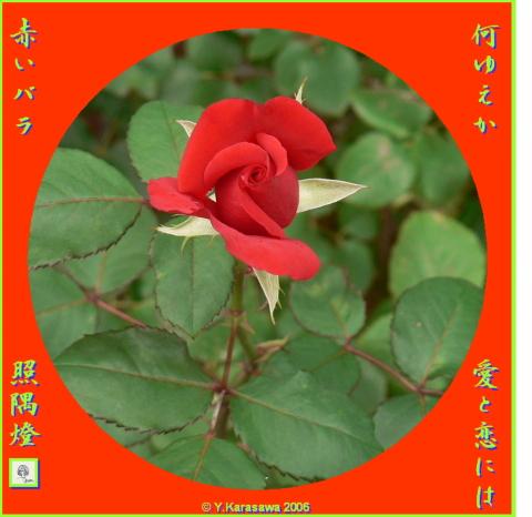 0619赤いバラ