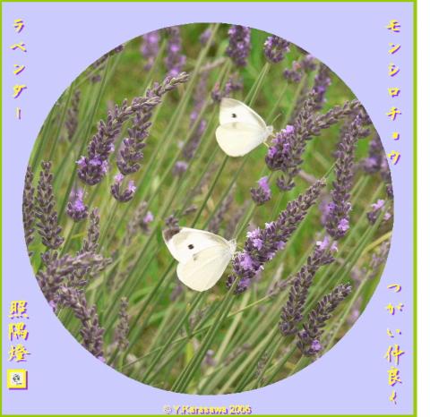 0705ラベンダーに紋白蝶