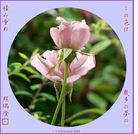 0715紫のバラ