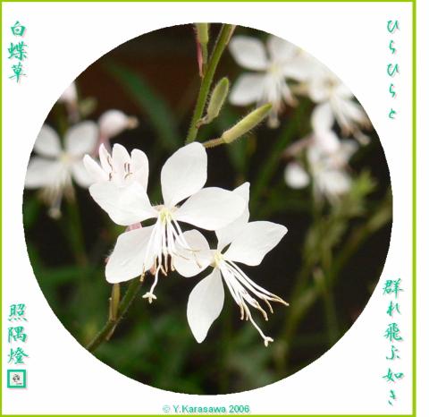 0717白蝶草