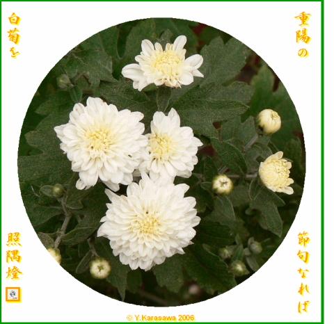 0909菊