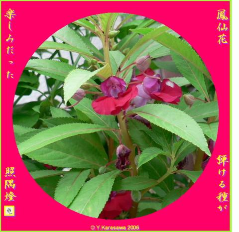 0918鳳仙花