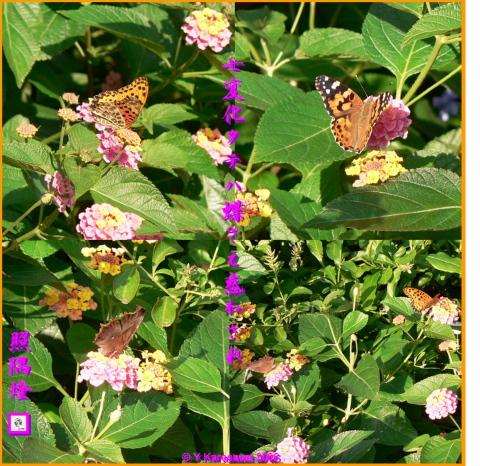 0925七変化にタテハ蝶