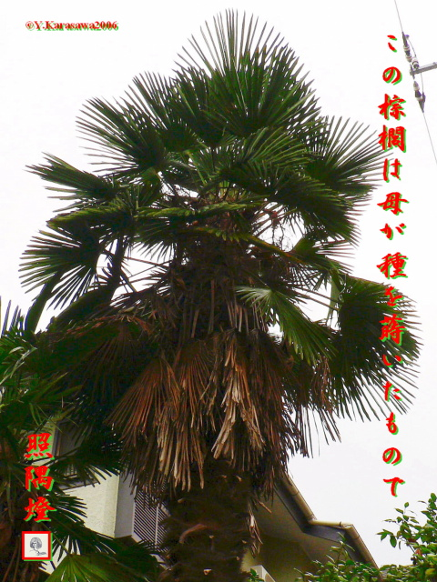 1005棕櫚