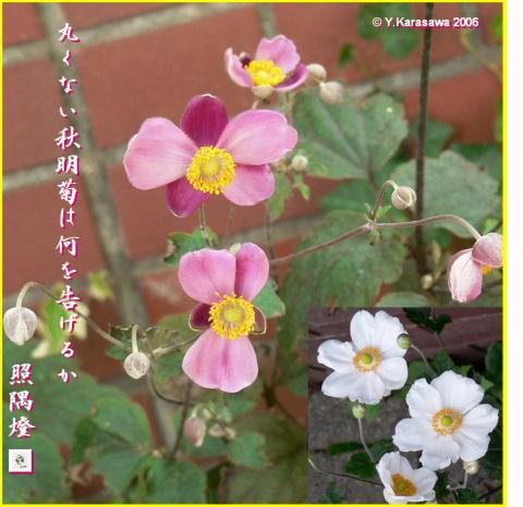 1010秋明菊