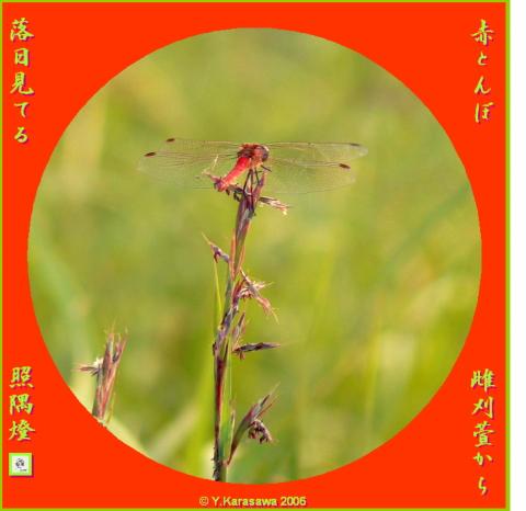 1013雌刈萱と赤とんぼ