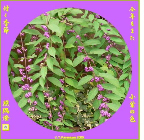 1016小紫