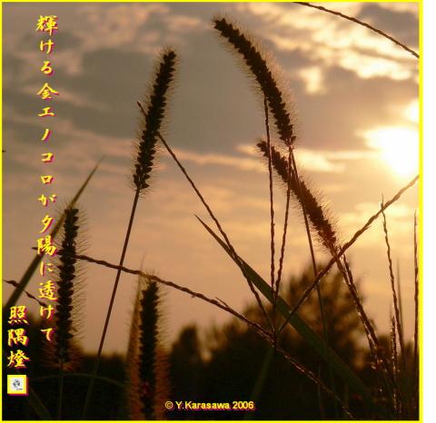 1024夕陽に金エノコロ