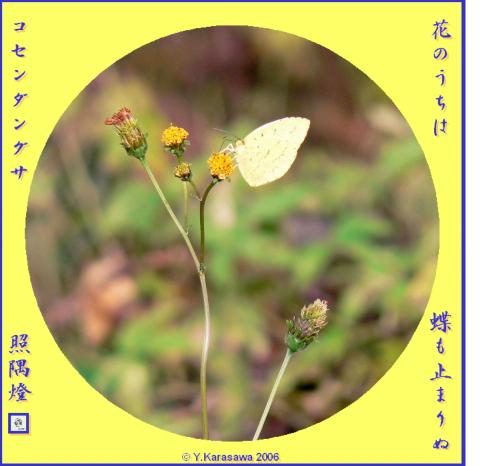 11021コセンダングサに黄蝶
