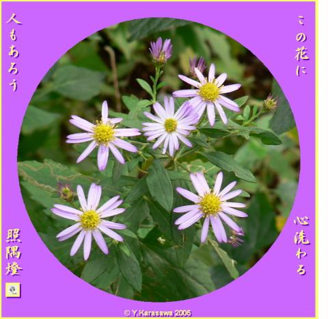 1114野紺菊