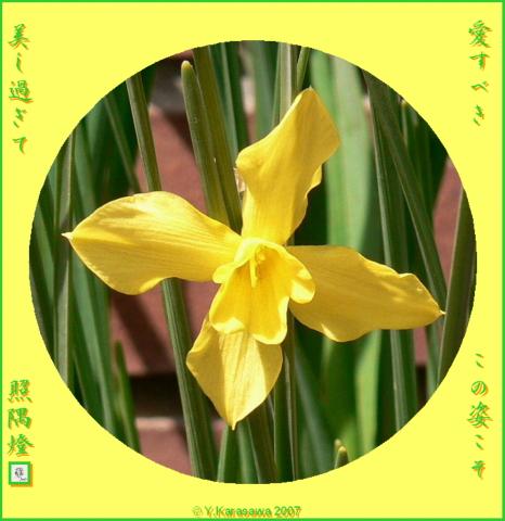 0102黄水仙