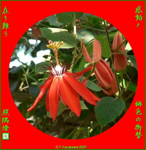 0127紅花時計草