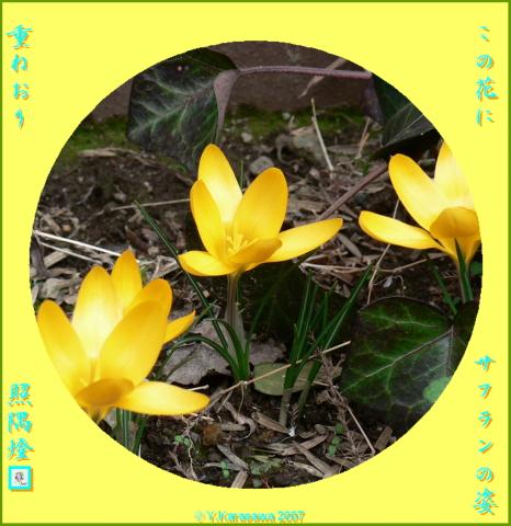 0131サフラン黄