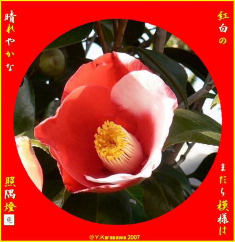 0204紅白椿