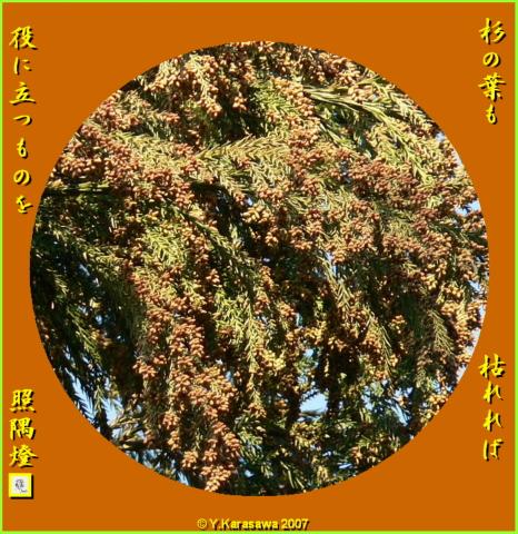 0215杉の葉