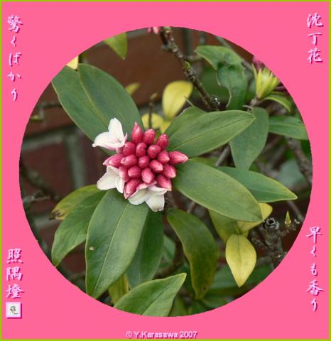 0223沈丁花