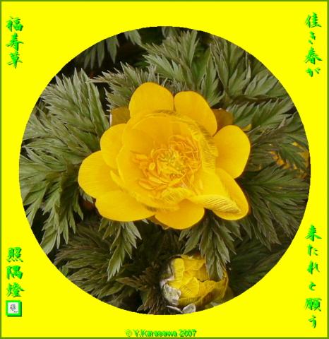 0226福寿草