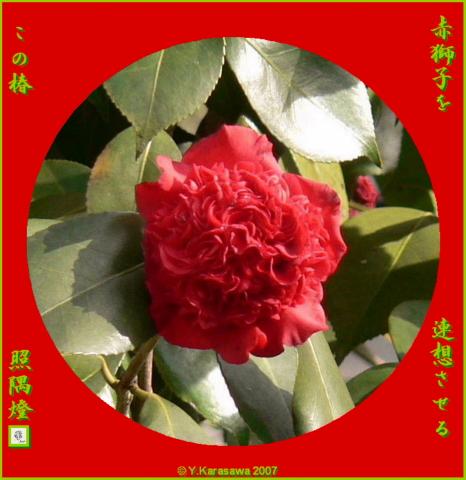 0317獅子咲き紅椿