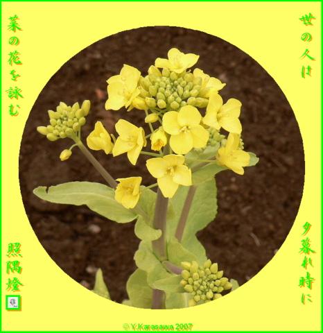 0327菜の花